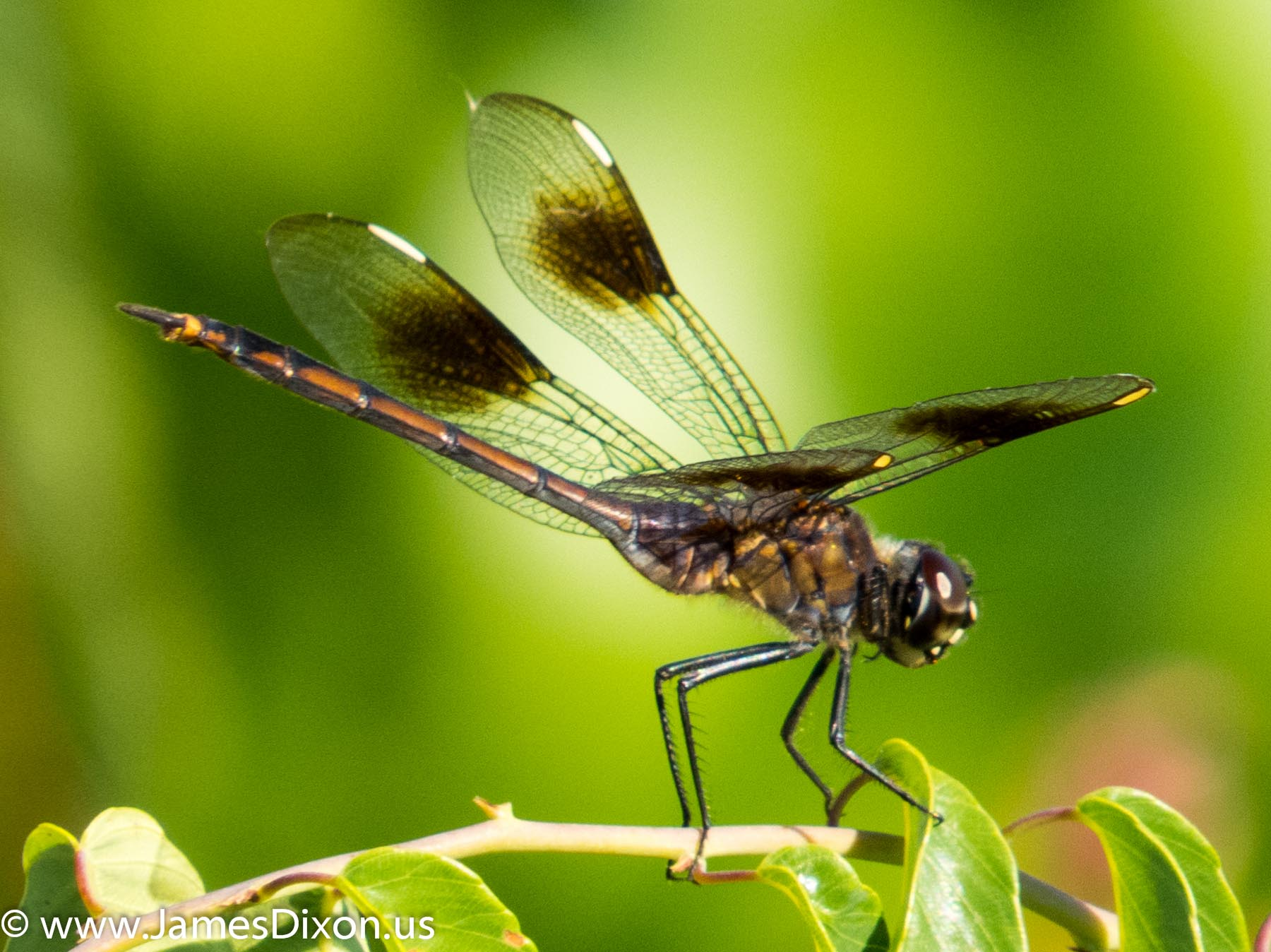 four-spotted-pennant-arkansas-post-national-memorial-july-2013-3044
