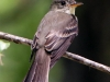 img_2300eastern-wood-pewee