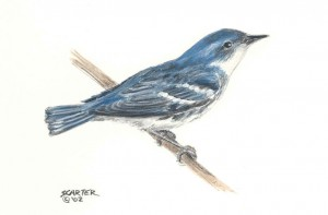 Cerulean Warbler by Sharen Carter