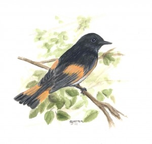 American Redstart by Sharen Carter