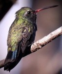Broad-billed Hummingbird by Dan Scheiman
