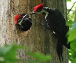 Pileated Woodpecker by Dottie Boyles 1