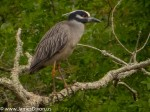 Yellow-crowned Night-Heron by Jim Dixon