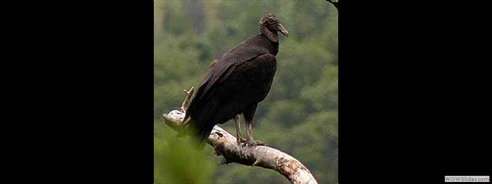 Black Vulture by Robert Herron