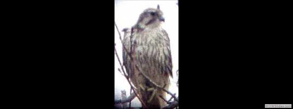 Prairie Falcon by Kenny Nichols