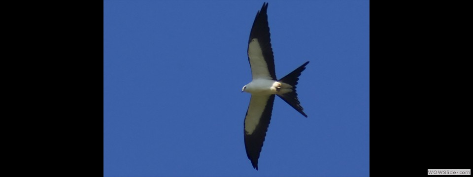Swallow-tailed Kite by Jim Dixon