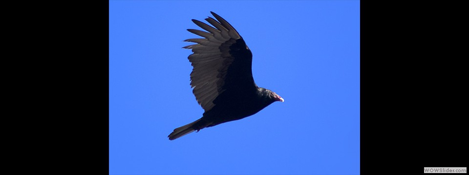 Turkey Vulture by Jim Dixon