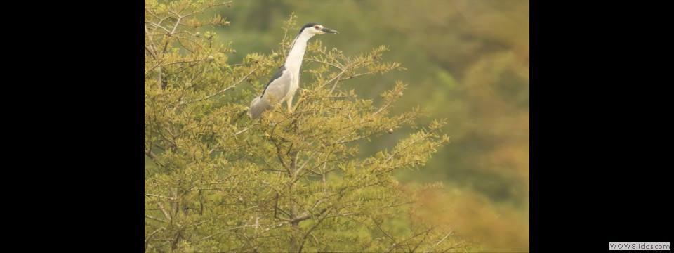 Black-crowned Night-Heron by Jim Dixon