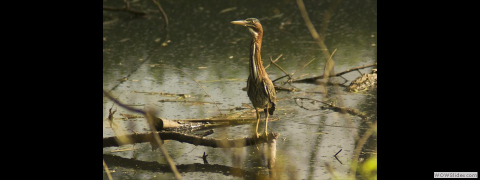 Green Heron by Jim Dixon