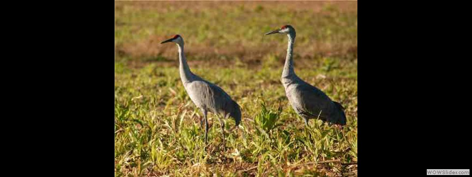 Sandhill Cranes by Don Collier