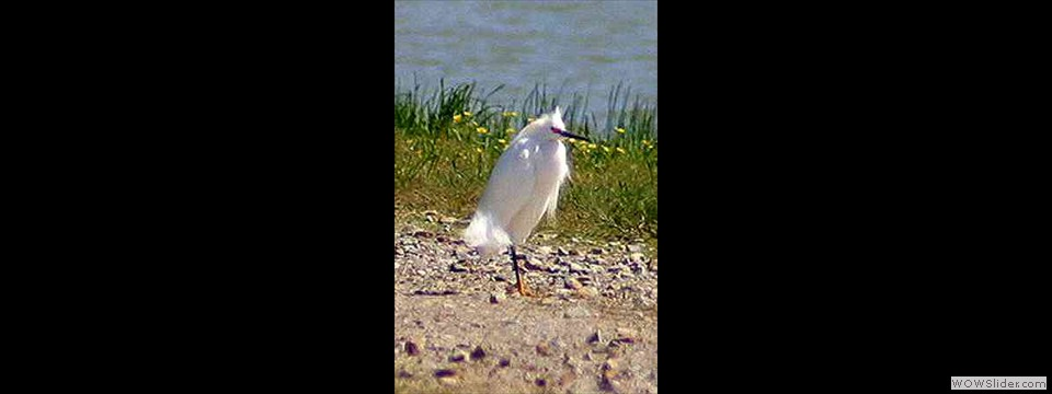 Snowy Egret by Robert Herron