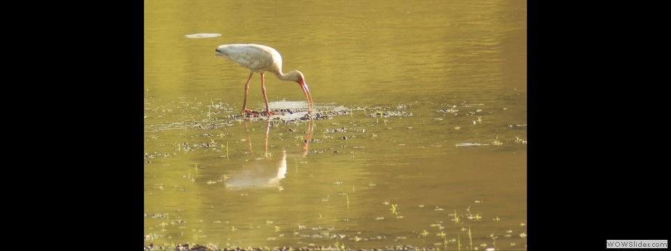 White Ibis by Jim Dixon