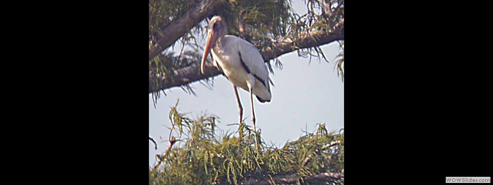 Wood Stork by Lyndal York