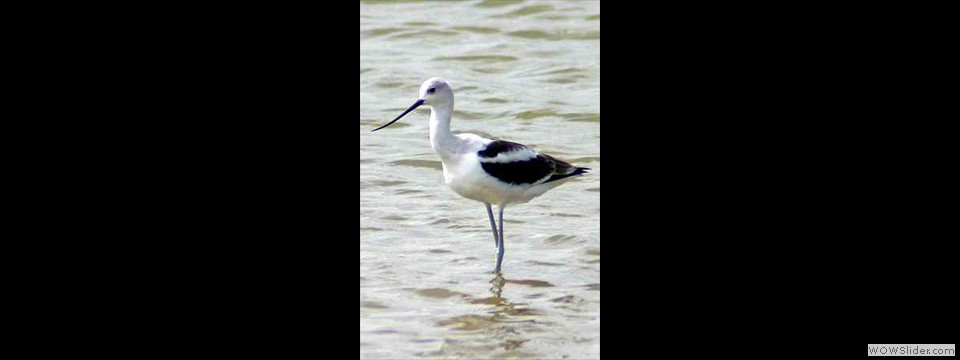 American Avocet by Robert Heron