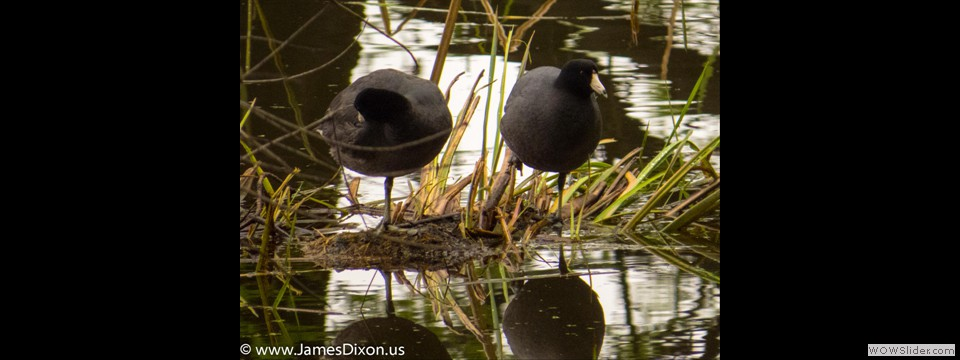American Coot by Jim Dixon