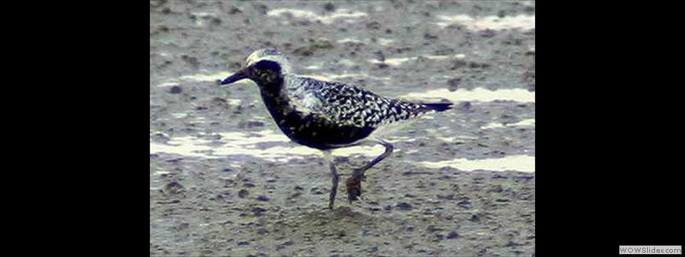 Black-bellied Plover by Robert Herron