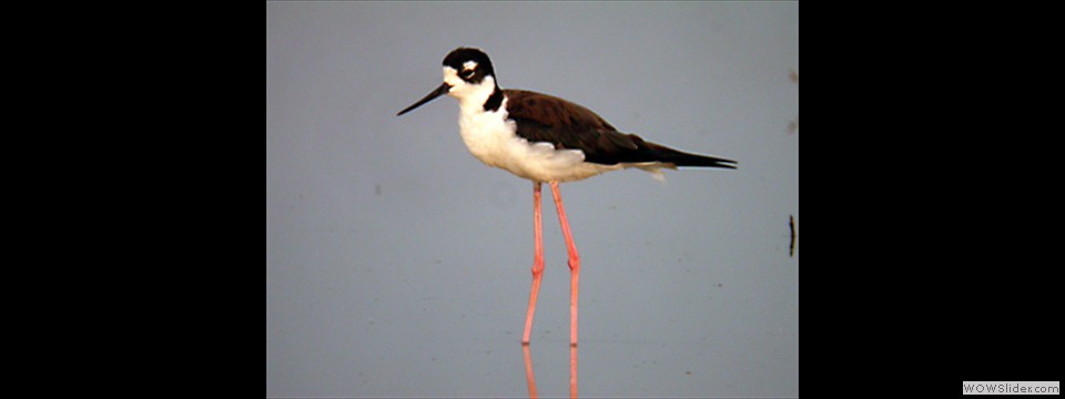 Black-necked Stilt by Lyndal York