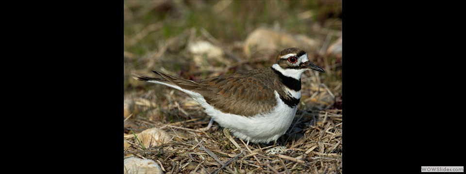 Killdeer by Charles Mills