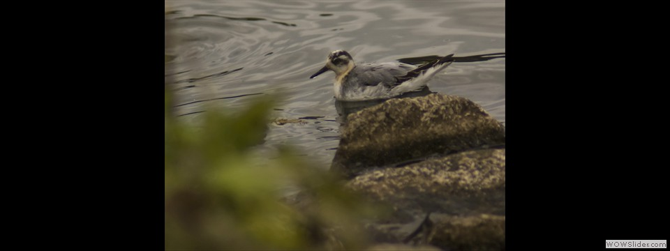 Red Phalarope by Jim Dixon