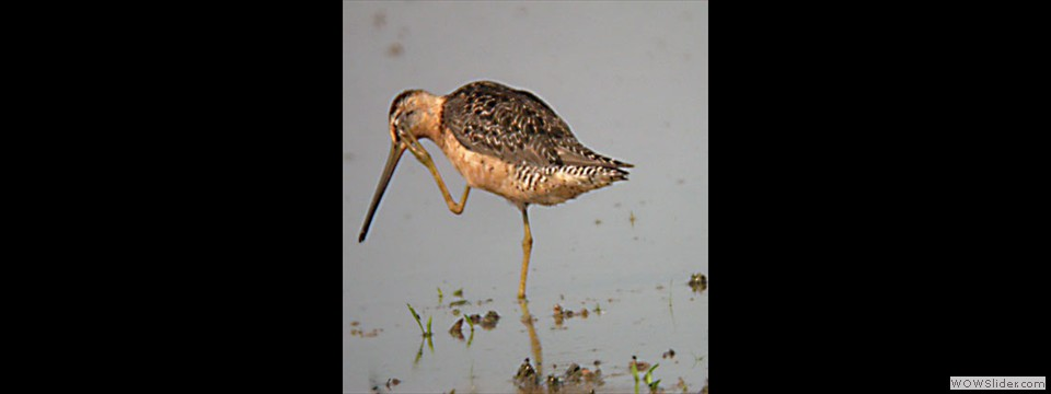 Short-billed Dowitcher by Lyndal York