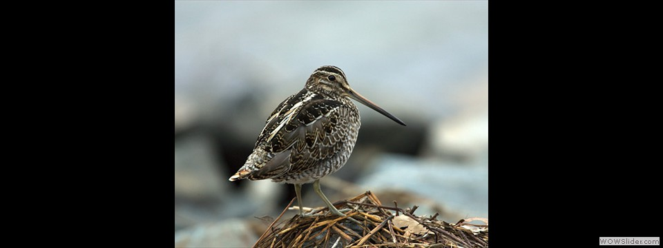 Wilson's Snipe by Charles Mills