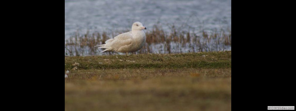 Glaucous Gull by Jim Dixon
