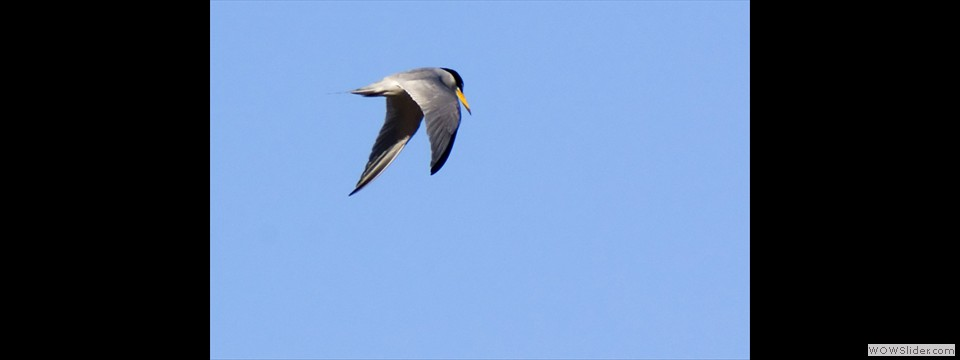 Least Tern by Jim Dixon