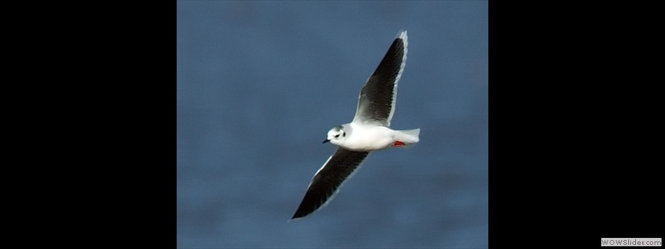 Little Gull by Charles Mills