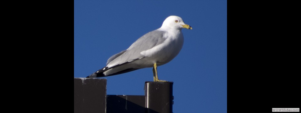 Ring-billed Gull by Jim Dixon