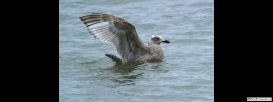 Thayer's Gull by Jim Dixon