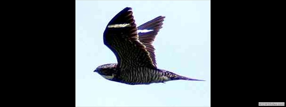 Common Nighthawk by Robert Herron
