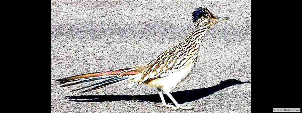 Roadrunner by Lyndal York