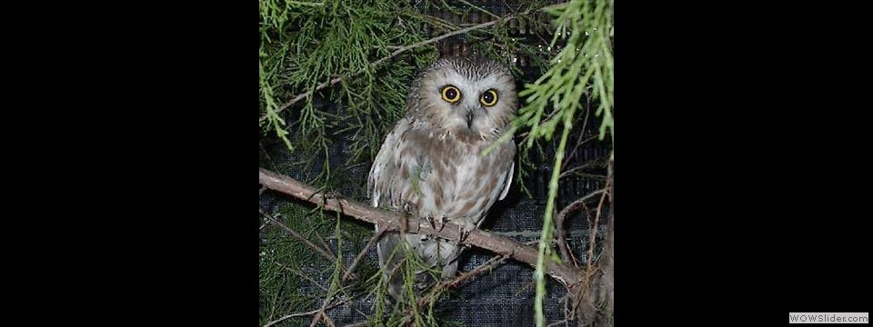 Saw-whet Owl by Lynn Slater