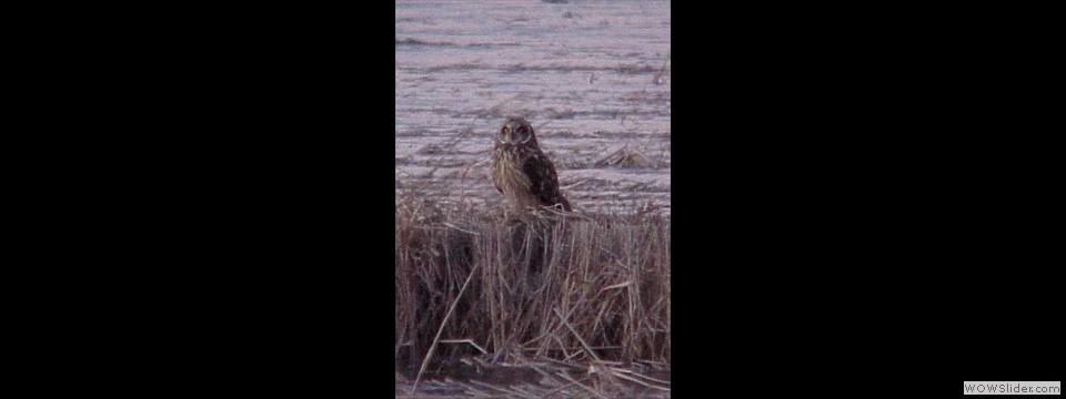 Short-eared Owl by Kenny Nichols