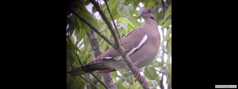 White-winged Dove by Dan Scheiman