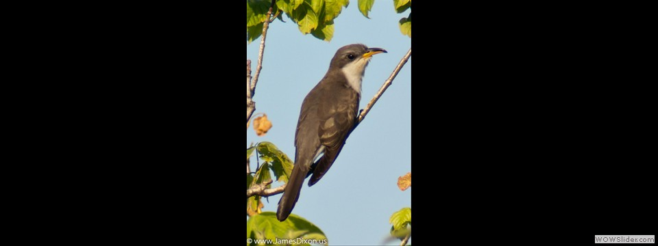 Yellow-billed Cuckoo by Jim Dixon