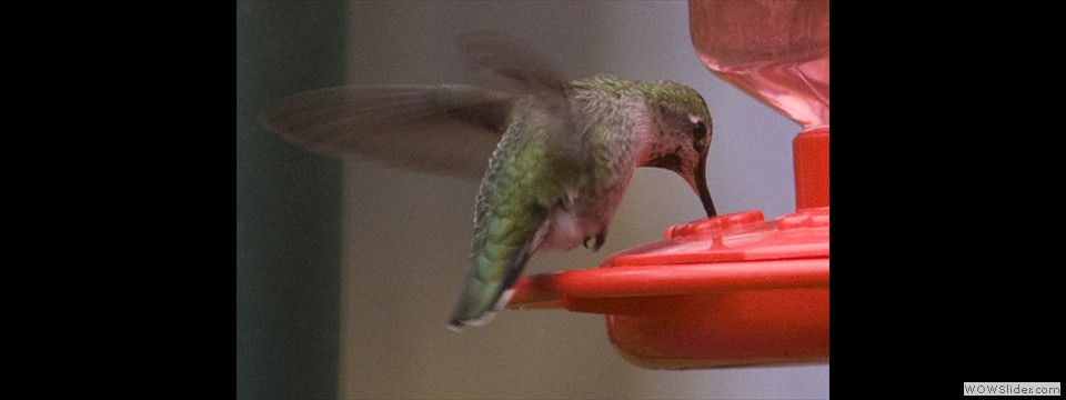 Anna's Hummingbird by Jim Dixon