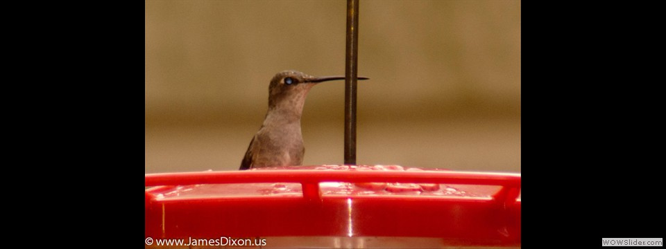Black-chinned Hummingbird by Jim Dixon