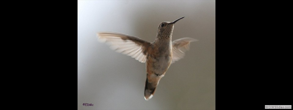 Broad-tailed Hummingbird by E. Delos McCauley
