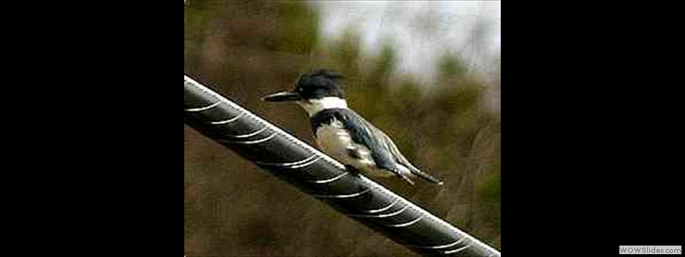 Belted Kingfisher by Robert Herron