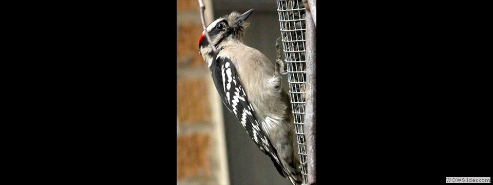 Downy Woodpecker by Lyndal York