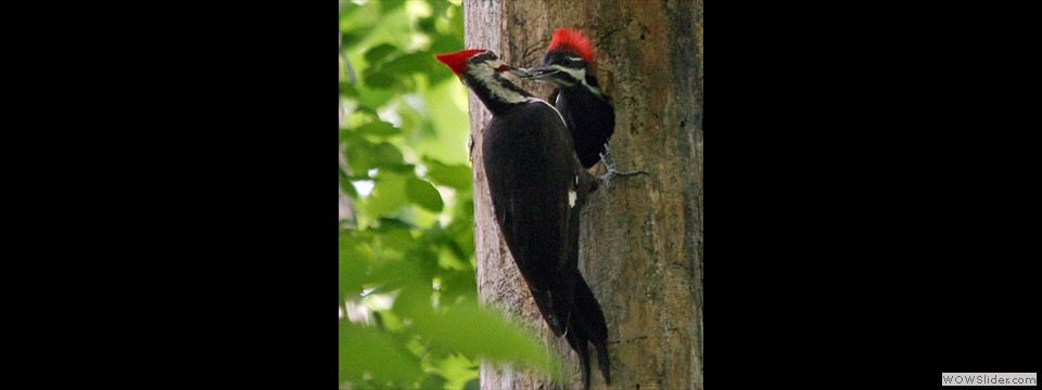 Pileated Woodpecker by Dottie Boyles 6