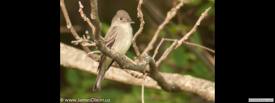 Acadian Flycatcher by Jim Dixon