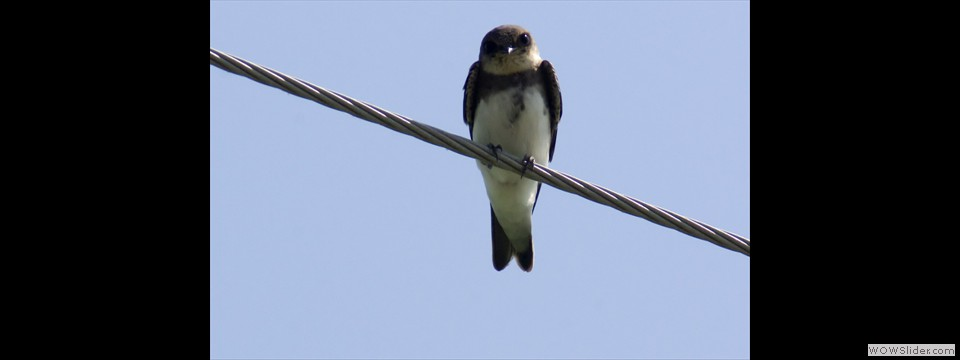 Bank Swallow by Jim Dixon