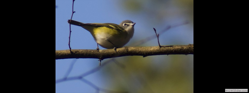 Blue-headed Vireo by Jim Dixon