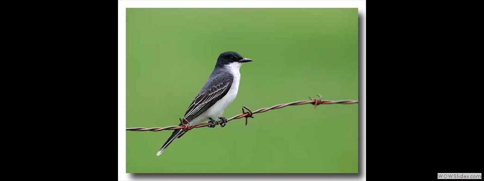 Eastern Kingbird by Charles Mills