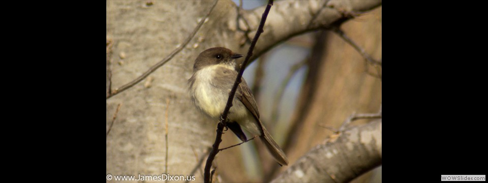 Eastern Phoebe by Jim Dixon
