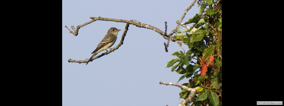 Eastern Wood-Pewee by Jim Dixon