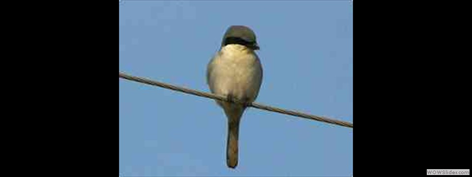 Loggerhead Shrike by Robert Herron