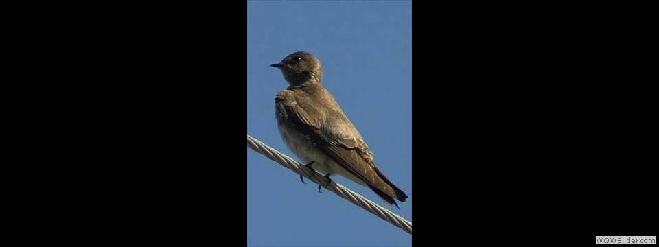 Northern Rough-winged Swallow by Robert Herron
